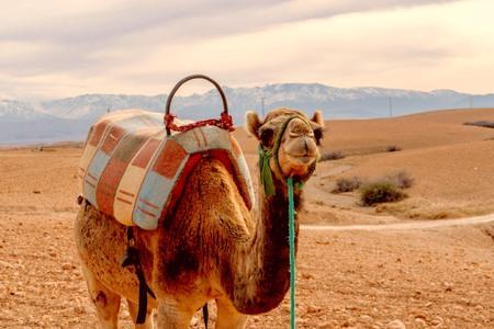 camello-desierto-marrakech-vmt